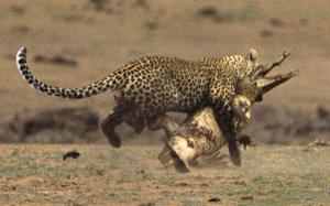 leopard1_1112598c